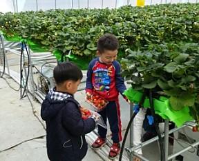 싱싱~맛있는 딸기체험